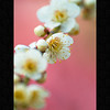 (Masahiro Makino) Tags: japan digital photoshop kyoto shrine olympus adobe 京都 日本 70300mm zuiko lightroom 梅 jonangu japaneseapricot squidfingers e500 f456 城南宮 20090226145702e500ls640p