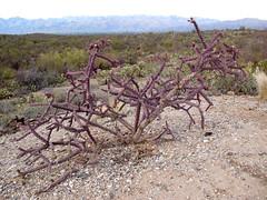 20100202-061455 (Bold Searcher) Tags: arizona saguaronationalpark