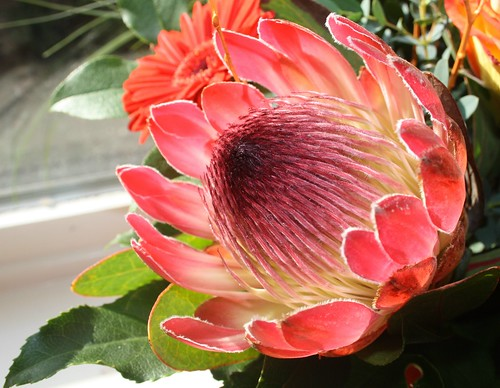 protea by ripperda, on Flickr