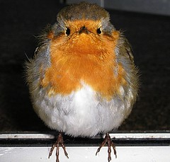 Where's my breakfast - Used by a card company. (rosiespoonerphotos) Tags: uk england cute feet beach nature robin birds breakfast photography flickr wildlife ps beachhut redbreast rosiespooner rosyrosie2009 rosemaryspooner rosiespoonerphotography