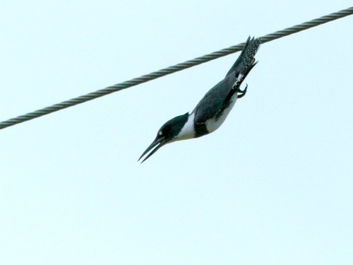 Kingfisher Dive 20100215