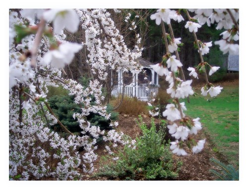 Veil of blossoms and Gazebo
