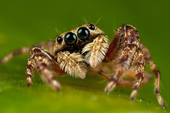 a very cute jumping spider (liewwk - www.liewwkphoto.com) Tags: park wild plant black macro green eye nature animal closeup fauna bug garden insect grey spider leaf jumping flora outdoor wildlife leg foliage hunter wilderness predator jumpingspider 426 abdomen liewwk wwwliewwkphotocom