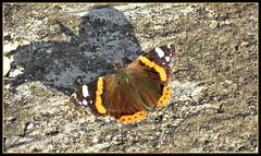 Farfalla (El Peregrino) Tags: italy rome roma butterfly bug insect italia papillon mariposa farfalla insetto