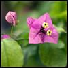 Gracias a la Vida (m@®©ãǿ►ðȅtǭǹȁðǿr◄©) Tags: barcelona flowers españa flores canon catalunya bugambilias ripollet canonef50mmf18ii graciasalavida canoneos400ddigital floresdeespaña m®©ãǿ►ðȅtǭǹȁðǿr◄© marcovianna
