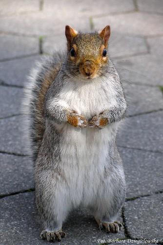 Eastern Gray Squirrel (Wiewiorka szara)
