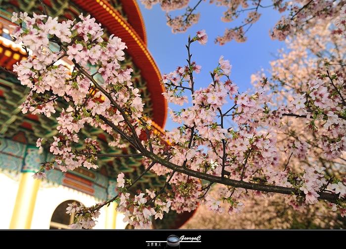Sakura sunny 13