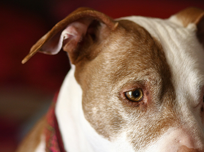 Pit Bull Graying