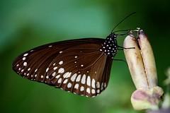 [フリー画像] [節足動物] [昆虫] [蝶/チョウ] [ウスグロシロオビマダラ] [Common Indian Crow/Euploea Core]      [フリー素材]