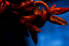 (ion-bogdan dumitrescu) Tags: blue red black dark pepper chili background bitzi img3375 ibdp ibdpro wwwibdpro ionbogdandumitrescuphotography
