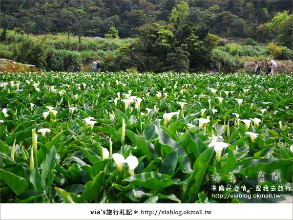 【2010竹子湖海芋季】陽明山竹子湖海芋季~海芋盛開囉!3