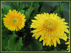Gerbera jamesonii (Barberton/Transvaal/African Daisy) - a bright yellow variety