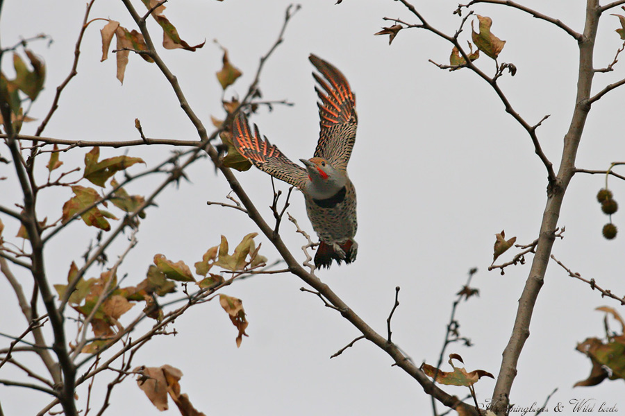 Northern-Flicker 120902