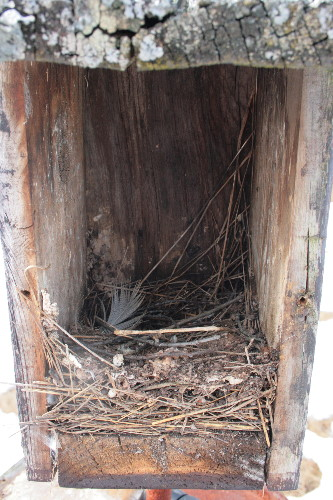 Tree Swallow nest in nestbox