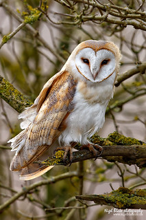Barn Owl Tyto alba perched in a tree