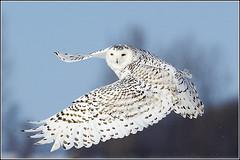 Owl (Snowy) - 2415 (Earl Reinink) Tags: flight raptor snowyowl snowyowlinflight earlreinink wwwearlreininkcom wwwipaintca