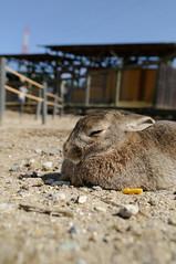 20100314 Aichi Farm 6 (BONGURI) Tags: rabbit nikon farm  aichi d300  bokujo    nisshin   aichibokujo aichifarm