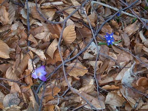 Crocus n' violets