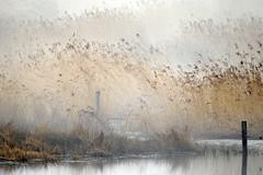 Fog in the cane (CitySor) Tags: nature cane fog d300 hovvig theunforgettablepictures rørskov