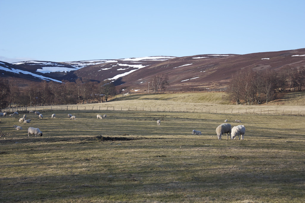Sheep in Glen Esk