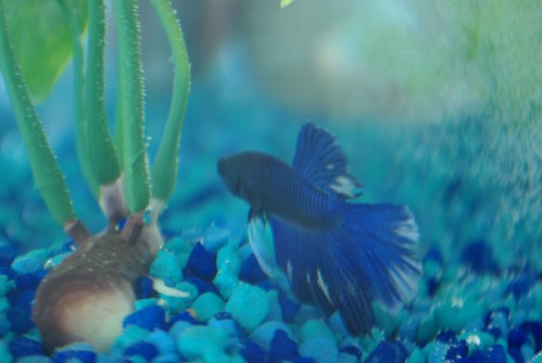 Billy Budd the Betta's Backside