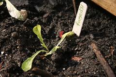 lettuce 014