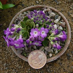 Primula allianii Joan Hughes