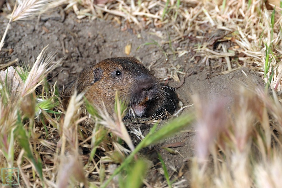 Botta's Pocket Gopher 05091-3