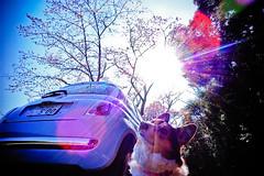 there's always the sun (moaan) Tags: light sky dog sun sunlight sunshine digital corgi blossom voigtlander fine bluesky f45 utata  sakura blossoming tokushima 15mm cherrytree fiat500 2010 cinquecento  hiwasa superwideheliar  inblossom rd1s pochiko epsonrd1s underthebluesky voigtlanderheliar15mmf45  weshcorgi gettyimagesjapanq1 gettyimagesjapanq2