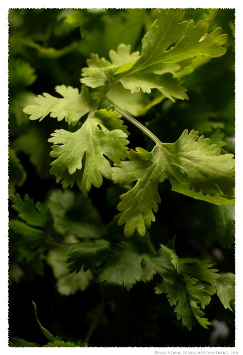 coriander© by Haalo