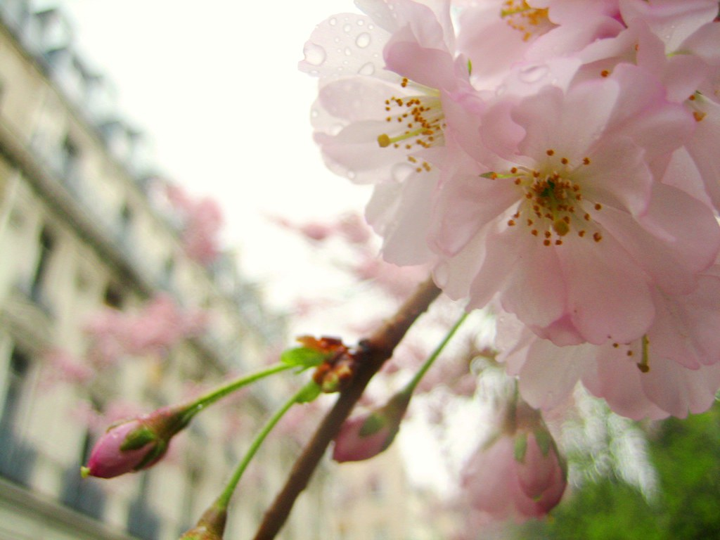Cherry Blossoms (6)