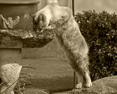 Usurped Slurp (Ian Sane) Tags: old family bird sepia cat canon ian eos one bottle mix bath mark tabby drinking siamese mai tai ii stray week 5d slurp adopted fed tones sane usurped thecatwhoturnedonandoff