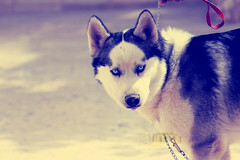 Wandering.. (- M7D . S h R a T y) Tags: white grey husky d siberianhusky siberian rolex wordsbyme allrightsreserved