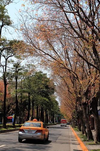 民生東路五段旁菩提樹