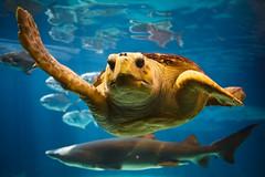 Can Turtles High Five? (Shane Woodall) Tags: newyork brooklyn coneyisland aquarium shark turtle april 2010 shanewoodallphotography