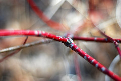 node (ankakay) Tags: red plant bokeh branches unidentified petrieisland niftyfifty