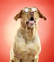 sol y calor (Duilio Rodriguez) Tags: dog pet sol animal lens labrador perro lengua bestfriend lentes doggie mascota sed perritos glases mejoramigo