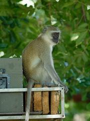 Ververt Monkey on Land Rover South Luangwa