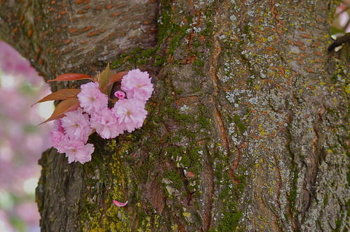 April 9: Pink Blooms in a Tree