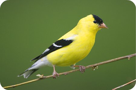 golden finch 2