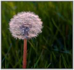 Sunkissed Dandelion (kevinkpc) Tags: life light plant abstract flower green art na