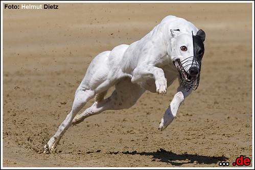 Greyhound-Tess