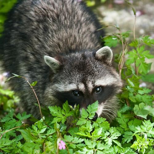 Raccoon #5