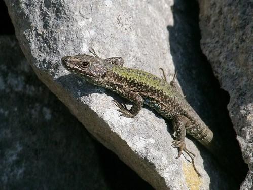 Wall Lizard (21)
