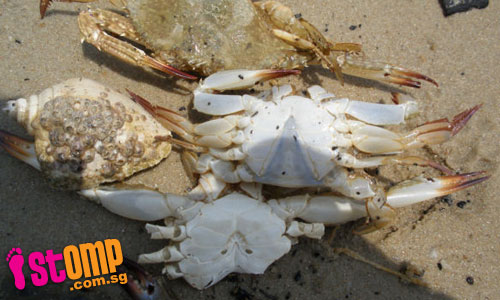 Dead crabs washed ashore on polluted beach