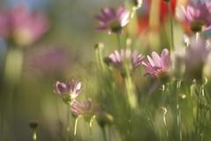 Small DOF (nebulous 1) Tags: pink flowers light green nikon dof explore monet poppies etc dreamy impressionist eveninglight smalldof largebokeh nebulous1 beyondbokeh