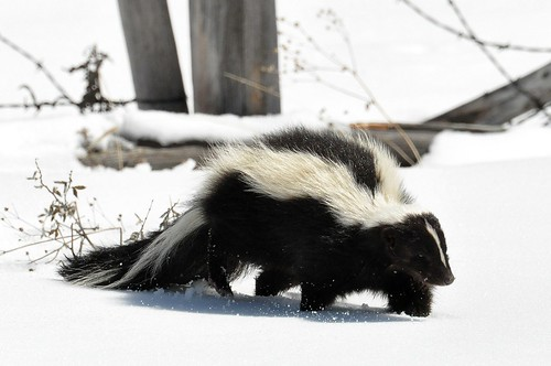 Striped Skunk (Mephitis mephitis)  DSC_0030