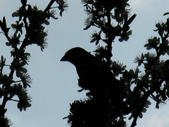 Finch (possibly sparrow) (shaggy359) Tags: cambridge tree bird silhouette branch blossom branches finch sparrow twig twigs