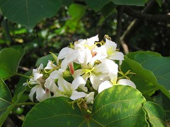 Tung Tree: Flowers: under the Sun