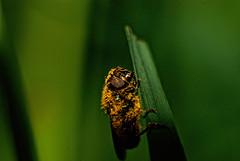 Having fun with Pollen (Chris McLoughlin) Tags: uk england macro nature closeup day wildlife yorkshire 100mm northyorkshire yorkshirewildlifetrust sonyalphaa300 chrismcloughlin boltonpercystationnaturereserve